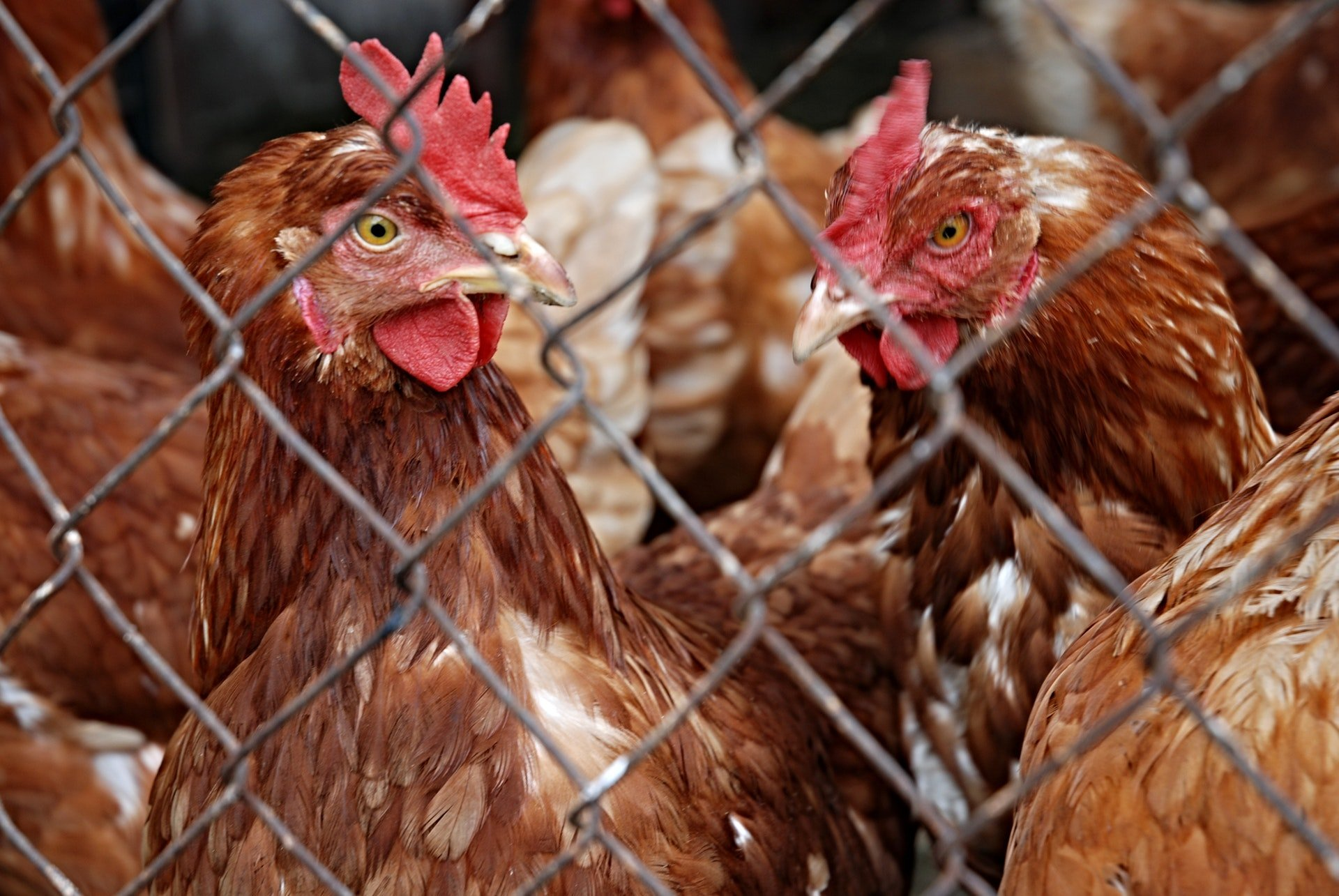 Analysing chicken genetics could help identify which strains are more responsive to a particular microbe. Image credit - Pexels, licensed under the pexels licence