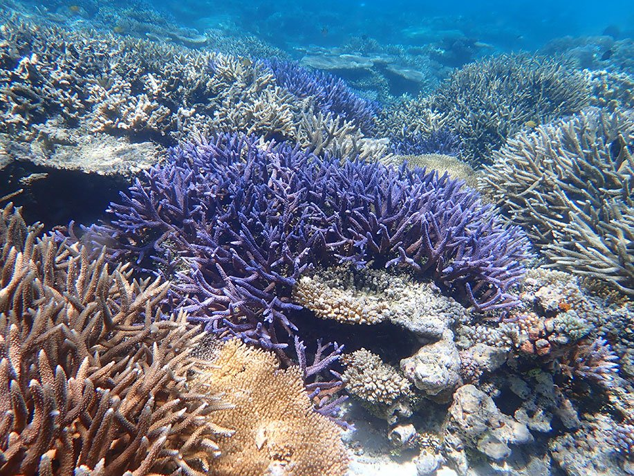 Planting baby corals that are bred to be resistant to heat stress can boost a reef's tolerance to warmer waters. Image credit - James Guest